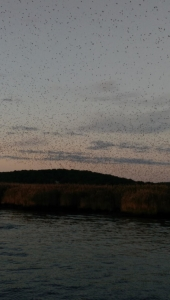The tree swallows in the sky along the CT River.